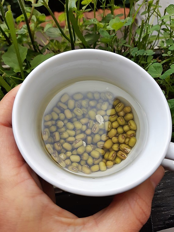 How to grow mungo beans sprouts? #sprouting